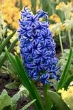 Jacinthe bleue Photos stock