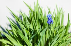 Jacinthe bleue avec l'herbe Photographie stock