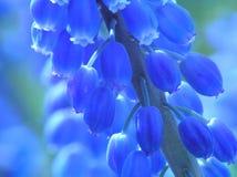 Jacinthe bleue de perle image stock