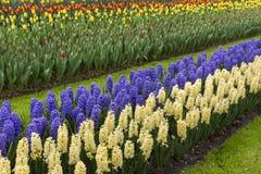 Jacinthe colorée au printemps image libre de droits