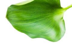 Jacinthe d'eau (crassipes d'Eichhornia) Photographie stock