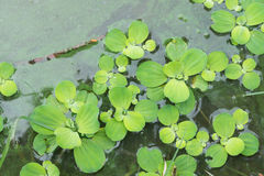 Jacinthe d'eau dans l'étang Photo stock
