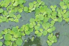 Jacinthe d'eau dans l'étang Photo libre de droits