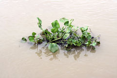 Jacinthe d'eau de flottement Image stock