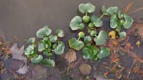 Jacinthe d'eau de flottement de plante aquatique au lac de LSU banque de vidéos