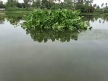 jacinthe d'eau en rivière Photographie stock libre de droits