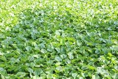 Jacinthe d'eau - plante aquatique Image stock