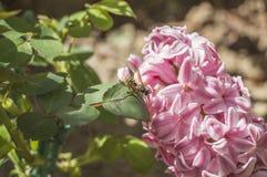 Jacinthe dans le jardin image stock