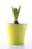 Jacinthe dans un pot vert Photos libres de droits