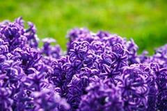 Jacinthe de fleur de ressort Image libre de droits