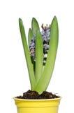 Jacinthe de floraison Photo libre de droits