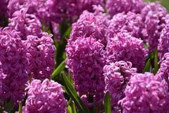 Jacinthe de floraison Photo stock