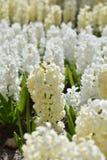 Jacinthe de floraison images libres de droits