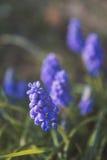 Jacinthe de raisin Images stock