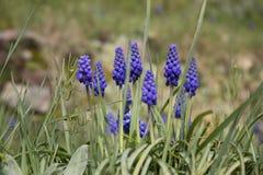 Jacinthe de raisin bleue Photographie stock libre de droits