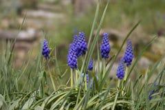 Jacinthe de raisin bleue Images libres de droits