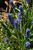 Jacinthe de raisin bleue d'armeniacum de muscari, jacinthe de raisin arménienne, fleurs de raisin-jacinthe de jardin fleurissant  images libres de droits