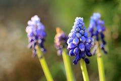 Jacinthe de raisin bleue sur le fond vert Image libre de droits