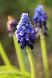Jacinthe de raisin bleue sur le fond vert Images libres de droits