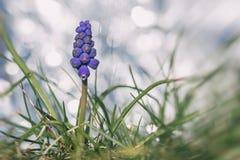 Jacinthe de raisin dans l'herbe Photographie stock libre de droits