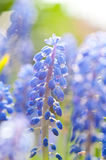 Jacinthe de raisin (Muscari) Photo stock