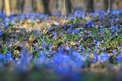 Jacinthe des bois en bois Image libre de droits