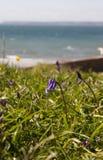 Jacinthe des bois par la mer Images libres de droits
