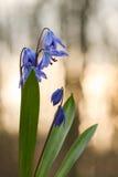 Jacinthe des bois, perce-neige dans la forêt, fleur Photographie stock libre de droits