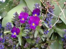 Jacinthe en-fleur Lizenzfreie Stockbilder