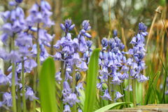 Jacinthe fleurissant dans leur splendeur maximum Photo stock