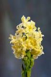 Jacinthe jaune fleurissante Photo libre de droits