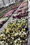 Jacinthe Le champ du ressort coloré fleurit des usines de jacinthes dans des pots avec des ampoules en serre chaude sur la lumièr Photographie stock libre de droits