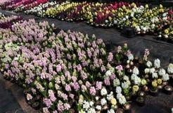 Jacinthe Le champ du ressort coloré fleurit des usines de jacinthes dans des pots avec des ampoules en serre chaude sur la lumièr Photos libres de droits