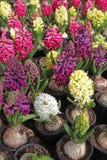 Jacinthe Le champ du ressort coloré fleurit des usines de jacinthes dans des pots avec des ampoules en serre chaude sur la lumièr Photographie stock