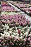 Jacinthe Le champ du ressort coloré fleurit des usines de jacinthes dans des pots avec des ampoules en serre chaude sur la lumièr Photo stock