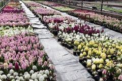 Jacinthe Le champ du ressort coloré fleurit des usines de jacinthes dans des pots avec des ampoules en serre chaude sur la lumièr Image stock