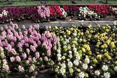 Jacinthe Le champ du ressort coloré fleurit des usines de jacinthes dans des pots avec des ampoules en serre chaude sur la lumièr photos stock