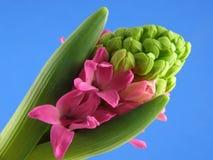 Jacinthe rose image libre de droits