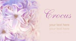 Jacinthe rose pour Pâques Photo stock
