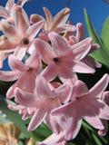 Jacinthe rose sur le fond du ciel bleu Image libre de droits