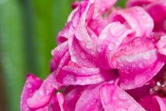 Jacinthe rose sur un fond vert Photographie stock libre de droits