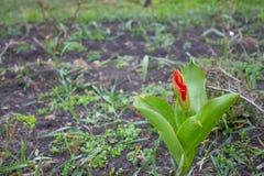 Jacinthe rose sur une fin nuageuse de jour et une tulipe de floraison rouge photographie stock libre de droits
