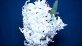Jacinthes blanches et roses sur un fond color? 4k, banque de vidéos