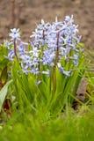 Jacinthes bleues Photo libre de droits