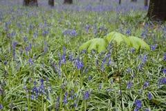 Jacinthes de fleurs sauvages dans les bois belges 1 de ressort Photographie stock libre de droits