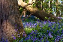 Jacinthes des bois à côté d'un tronc d'arbre dans une région boisée anglaise au printemps photo stock