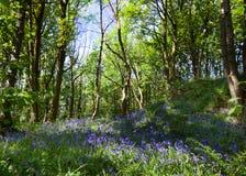 Jacinthes des bois au printemps Images libres de droits