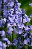 Jacinthes des bois au printemps Photos libres de droits