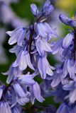 Jacinthes des bois au printemps Image libre de droits