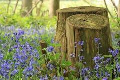 Jacinthes des bois avec le tronçon d'arbre dans le premier plan, Kent Photographie stock libre de droits